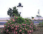 Roses and East Chop Light, Telegraph Hill
