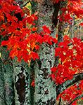 Maple Trunks, Lichens and Leaves