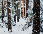 Red Pine Forest after Heavy Winter Snow