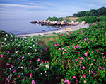 Wild Roses on Pine Island, Fishers Island Sound and Long Island Sound