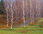 Drive Through Birches, Taconics Region
