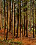 White Pines, Birch Hill Wildlife Area