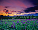 Lupines, White Mountains and High Winds at Dawn