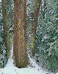 Red Oaks and Hemlocks after Snow