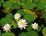 Fragrant Water Lilies