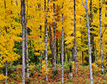Hardwood Forest in Fall