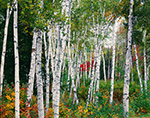 White Birch Trunks, White Mountain Region