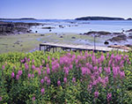 Fireweed at Cranberry Cove