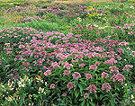 Meadow of Joe-Pye Weed and Goldenrod