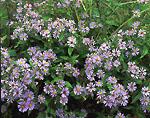 Purple-stemmed Aster