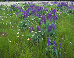 Field of Lupines and Daisies