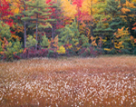 Cotton Grass, Bog and Fall Colors, Ashby, MA