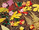 Chestnut, Sumac, Sassafras, White Oak, Beech, Red Maple Leaves and Teaberry