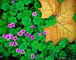 Violet Wood Sorrel and Sycamore Leaf
