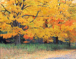Sugar Maples in Fall, Quabbin Reservoir