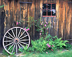 Old Barn Side and Roses