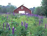 Wildflowers and Barn