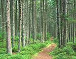 Trail Through Spruce Trees in Coastal Fog Forest near Crockett Cove Woods Preserve