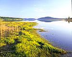 Golden Hedge Hyssop, Shores of Quabbin Reservoir