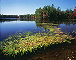 Sedges and Eisenhower Lake in Fall, Alton Jones Campus, University of Rhode Island