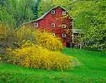 Forsythia and Red Barn in Spring