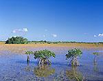 Red Mangroves and Prairie