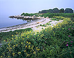 Wild Mustard and Beach on Pine Island