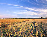 Soybean Fields and Cirrus Clouds