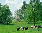 Virginia Farmland with Cattle