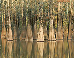 Bald Cypress Trees, White River