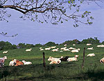 Cattle in Field in Spring
