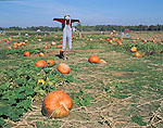 Scarecrow and Pumpkin Field