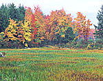 Bur Reed and Woodland Edge in Fall