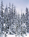 Tamarack Spruce Swamp Under Heavy Snow, Adirondack Park