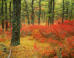 Huckleberry Leaves and Pitch Pine in Fall (Pine Barrens)