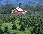 Christmas Tree Farm and Red Barns