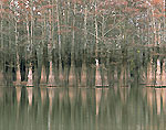 Bald Cypress in White River
