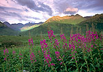 Fireweed and Talkeetna Mountains