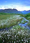 Cotton Grass and Talkeetna Mountains