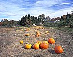 Field of Pumpkins in Early Fall, Red Apple Farm