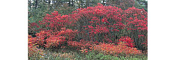 Bright Red Foliage of Staghorn Sumac in Fall, Birch Hill Wildlife Management Area