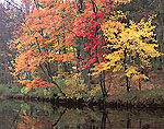 Red Maples in Fall Color along Banks of Millers River