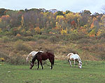 Horses Grazing in Pasture in Fall