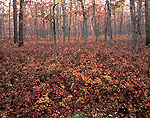 Fall Colors in White Oak Forest with Low Bush Blueberry/Huckleberry,