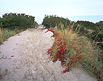 Virginia Creeper and Dune Grass along Path