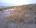 Beach Grass and Dunes
