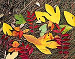 Sassafras, Dwarf Sumac and Poison Ivy Leaves on Salt Marsh Edge