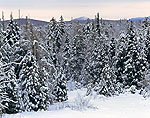 Snow Laden Conifers, Adirondack Park