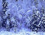 Snow Laden Forest Hillside, Adirondack Park