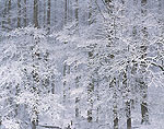 Deciduous Forest in Snowstorm